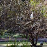 Cormorant in Tree
