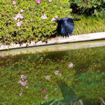 Currawong in Flight