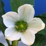 chilli flower