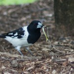 Magpie-Lark with Snake