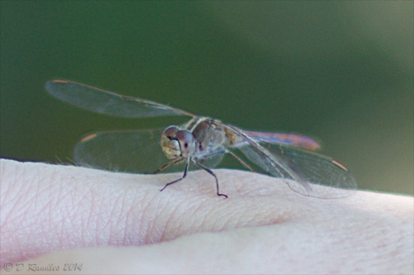 Tame Dragonfly